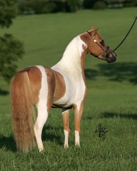 Miniature horse stud
