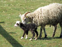 rare breeds lamb poultry eggs essex