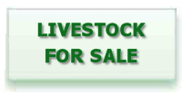 livestock for sales essex sheep poultry