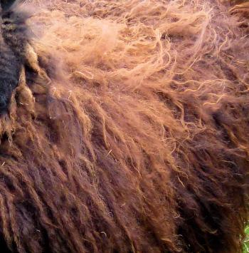 2 x Hebridean Fleece + UK P &P