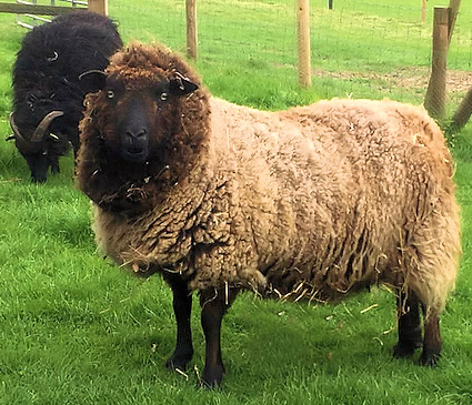 2 x Hebridean x Southdown Fleece + UK p&p