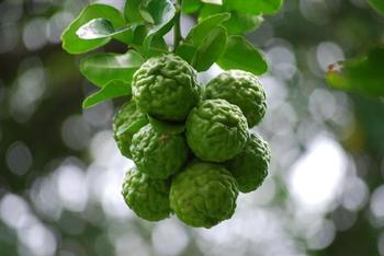 Kilo Kaffir Lime Fruits