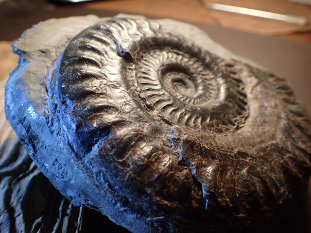 Whitby Fossils