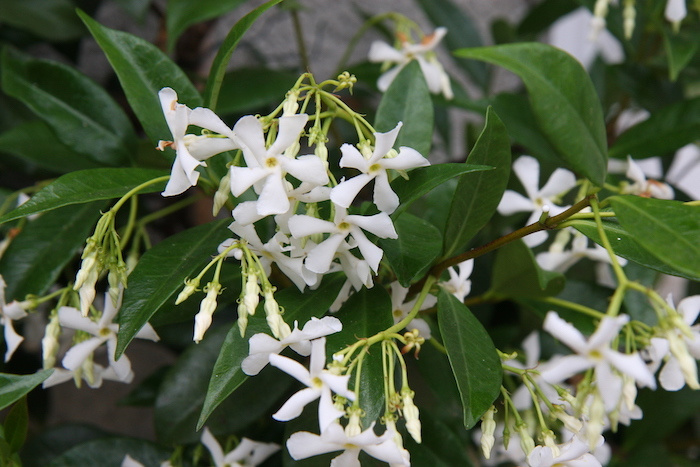The Scent of Summer Trachelospermum jasminoides, simply the best climber ever.