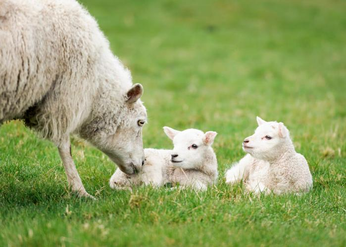 Lambing Essentials Updated Price List