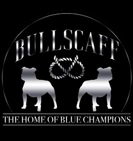 Bullscaff Blue Staffy Stud Dog Provider UK Worldwide