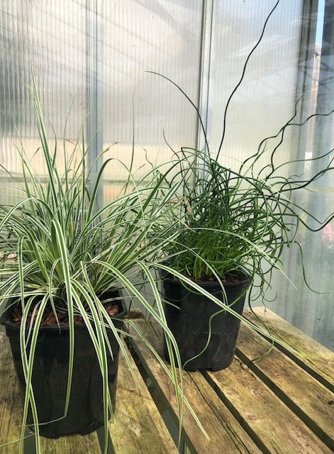 GRASSES - ornamental (2 plants)
