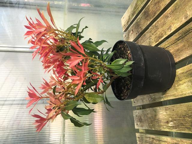 Pieris japonica