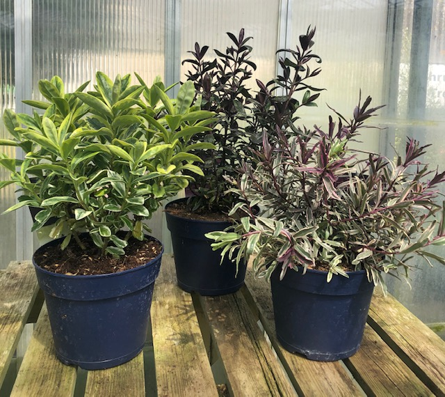 HEBE bundle 3 PLANTS