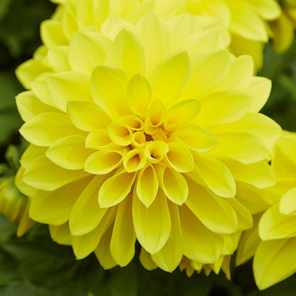 DAHLIA Yellow
