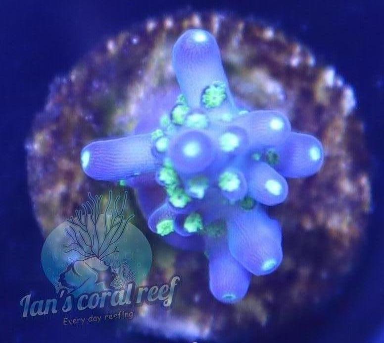 ICR, Tricolor Acropora frag for sale
