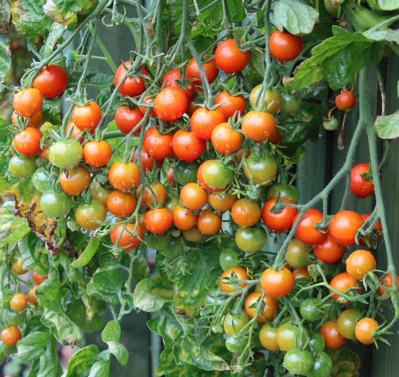 Cherry tomato Gardeners Delight