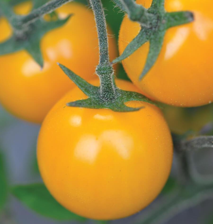 Cherry Tomato - Golden Crown