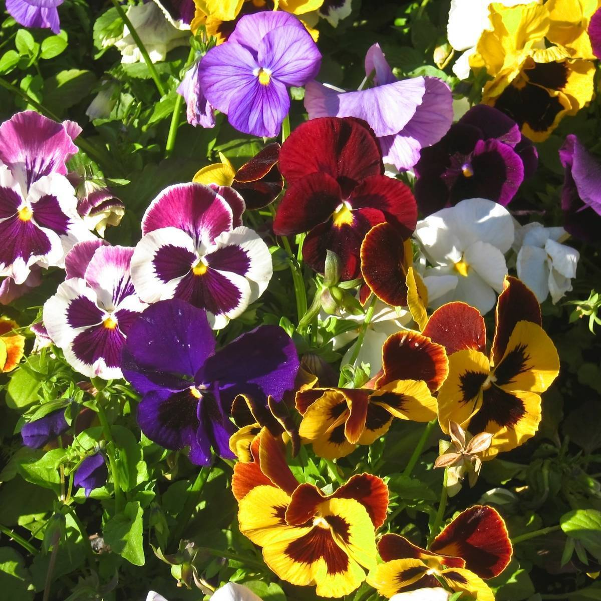 Pansy - Swiss Giant -mixed