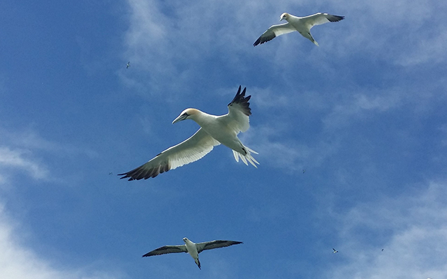 The freedom of Gannets Standing barefoot on the grassy clifftop, looking down at the turquoise of the sea...